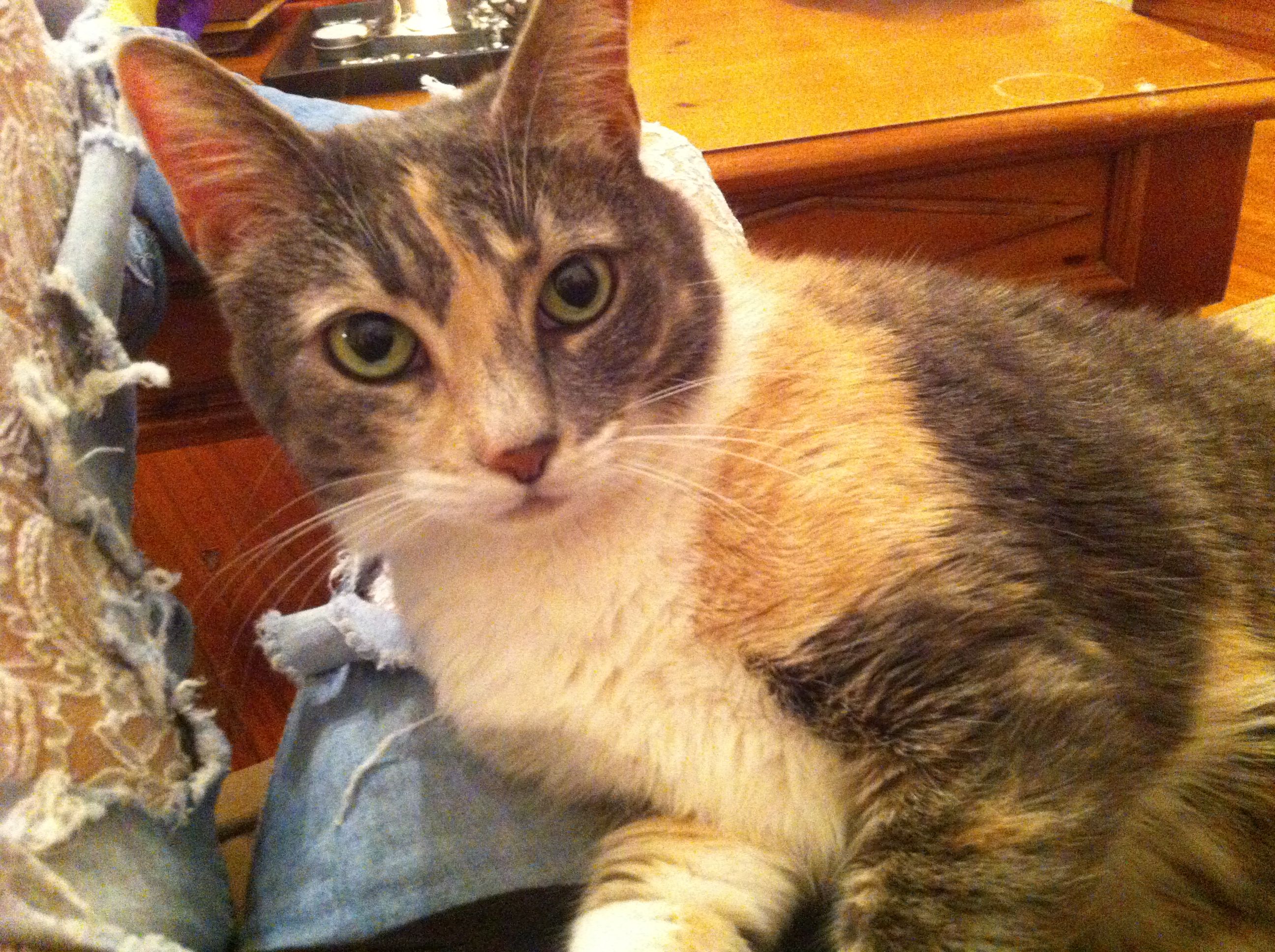 Emmy – Lost Female Cat – Dilute Calico Shorthair