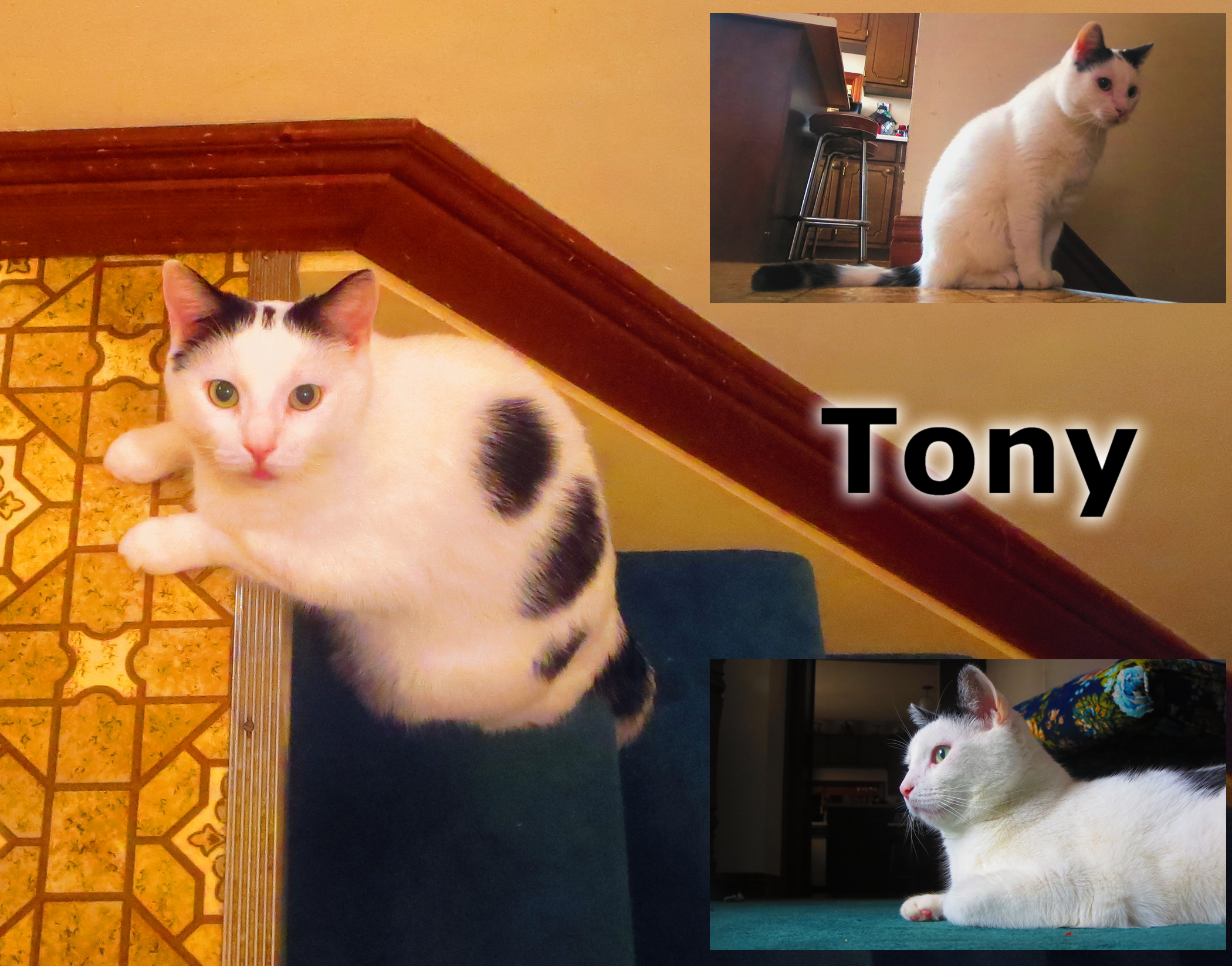 Tony – Lost Male Cat – White with Black Shorthair