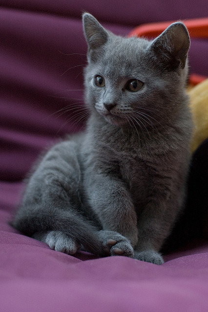 Daisy – Lost Female Kitten – Grey Shorthair