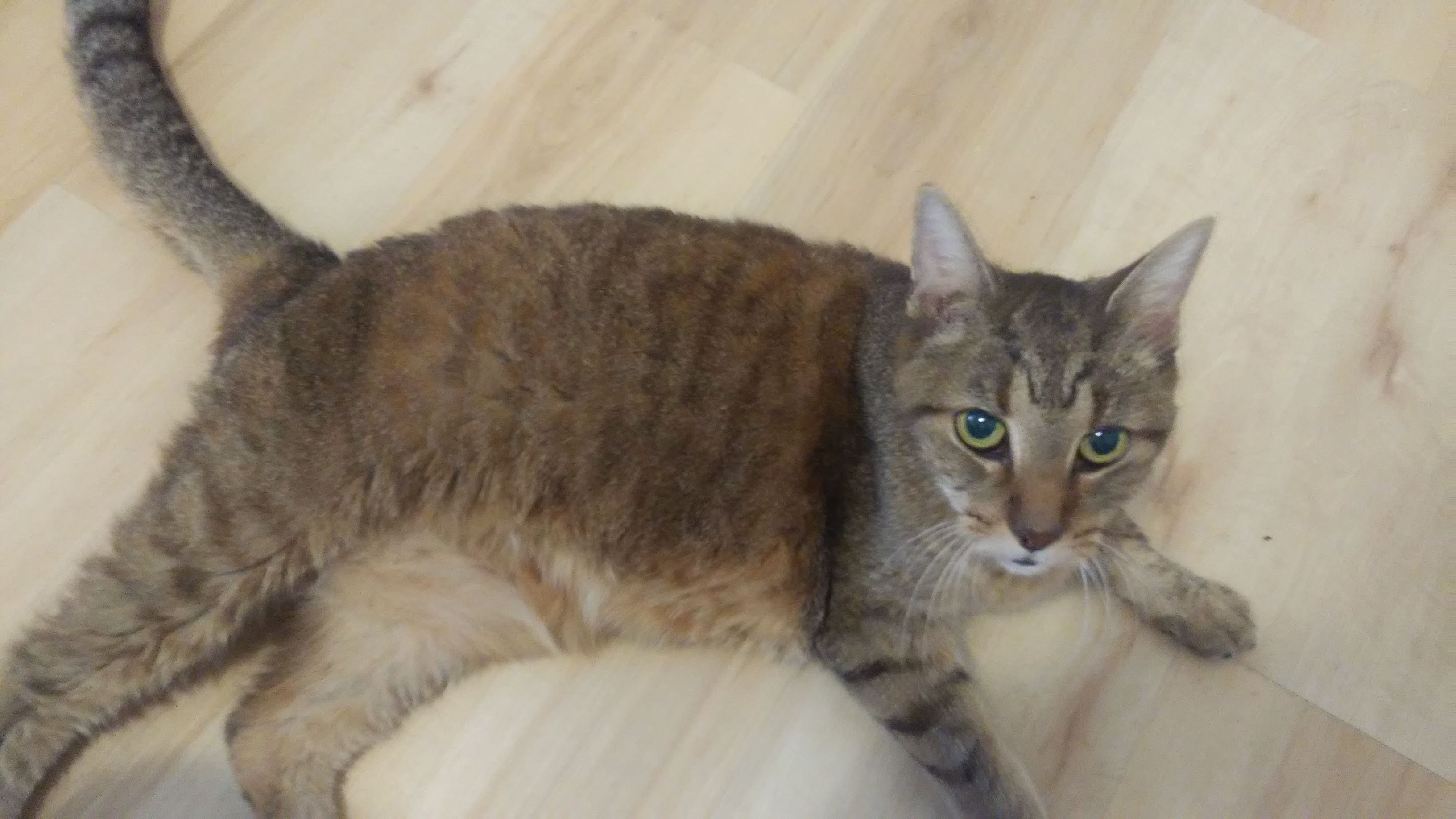 Found Female Cat – Brown Tabby with Orange Shorthair