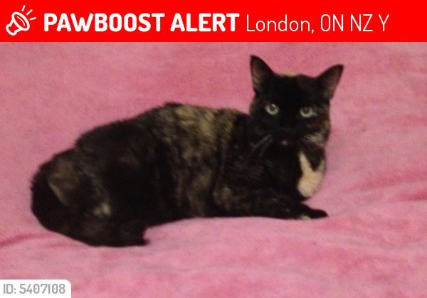 Tootsie – Lost Female Cat – Tortoiseshell calico