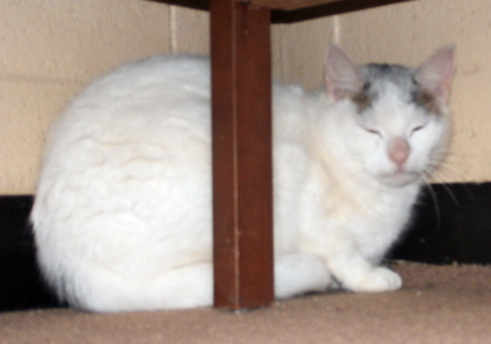 Found Cat – White with Grey Patch Shorthair