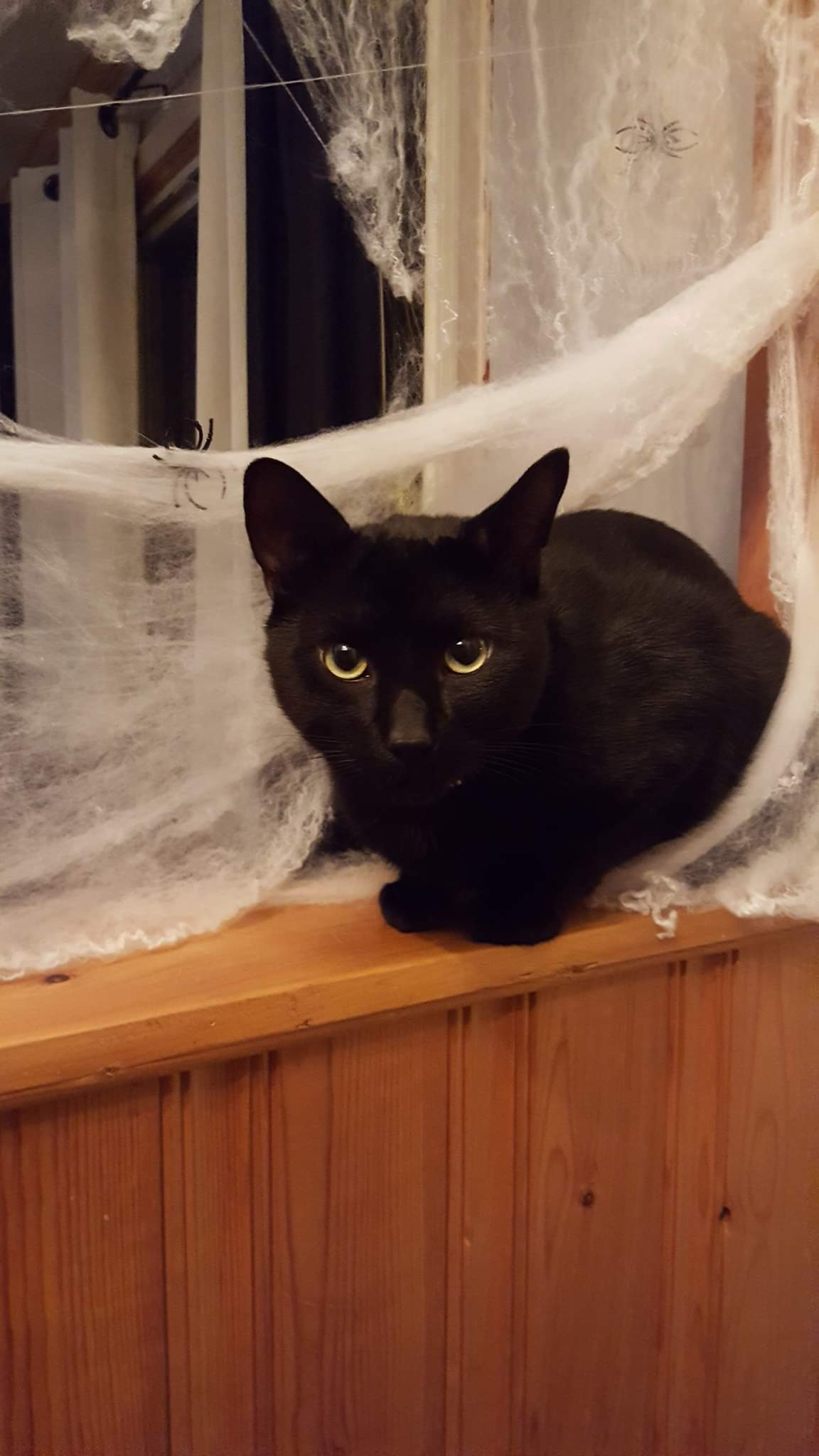 Sheldon – Lost Male Cat – Black Shorthair