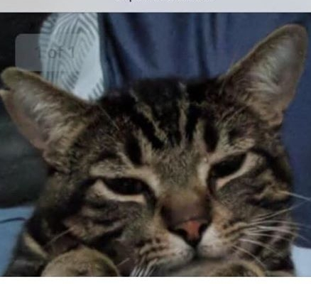 Ollie – Lost Male Cat – Brown Tabby Shorthair