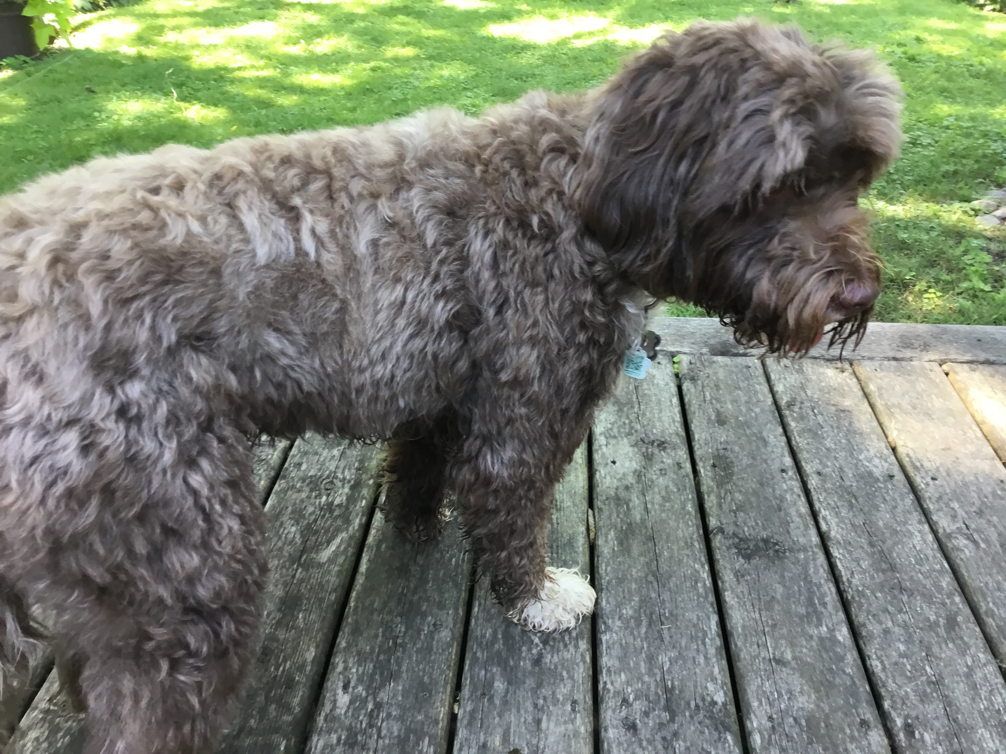 Found Male Dog – Brown with White ShihTzu Mixed Breed