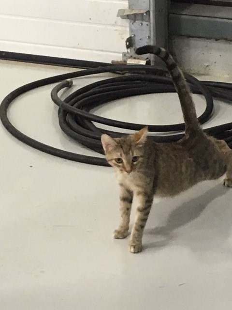 Found Female Cat – Brown Tabby Shorthair