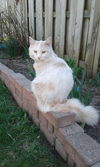Jackson – Lost Male Cat – White with a bit of Orange Shorthair