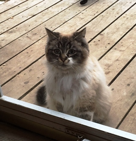 Found Female Cat – White with Grey Longhair