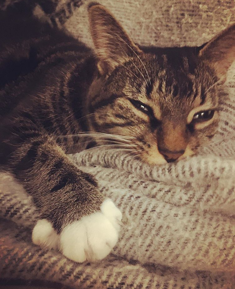Ami – Lost Female Cat – Brown Tabby with White Shorthair