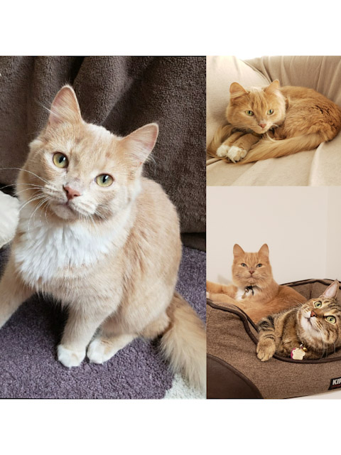 King – Lost Female Cat – Orange Tabby Mediumhair