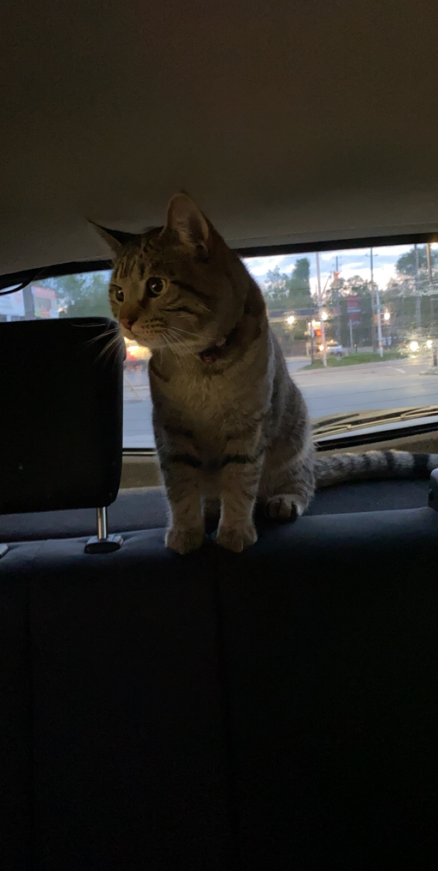 Found Male Cat  – Brown Tabby Shorthair