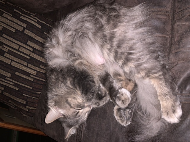 Pickle – Lost Female Cat – Grey Tabby Longhair