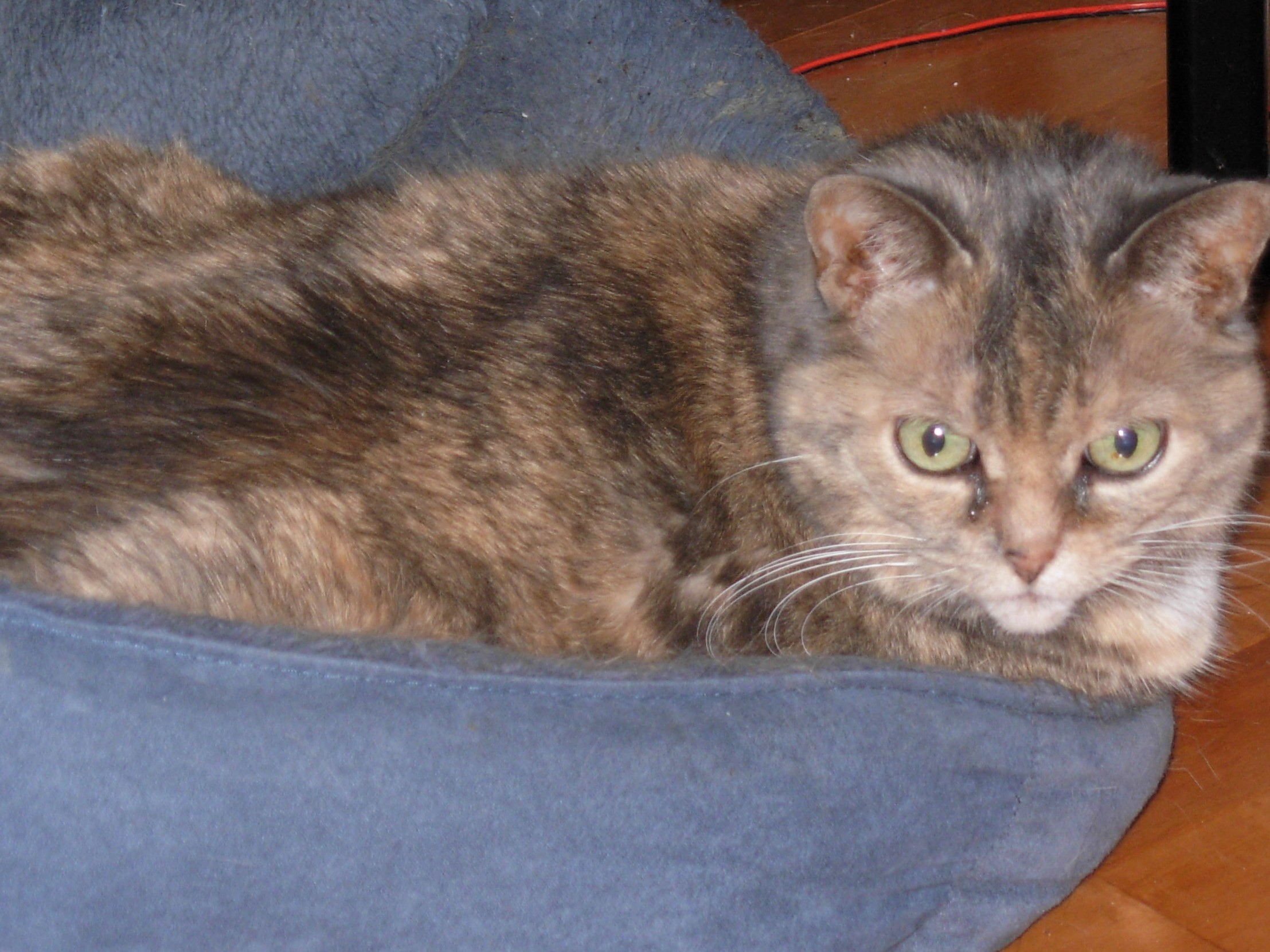 Nala – Lost Female Cat – Tortoiseshell Calico