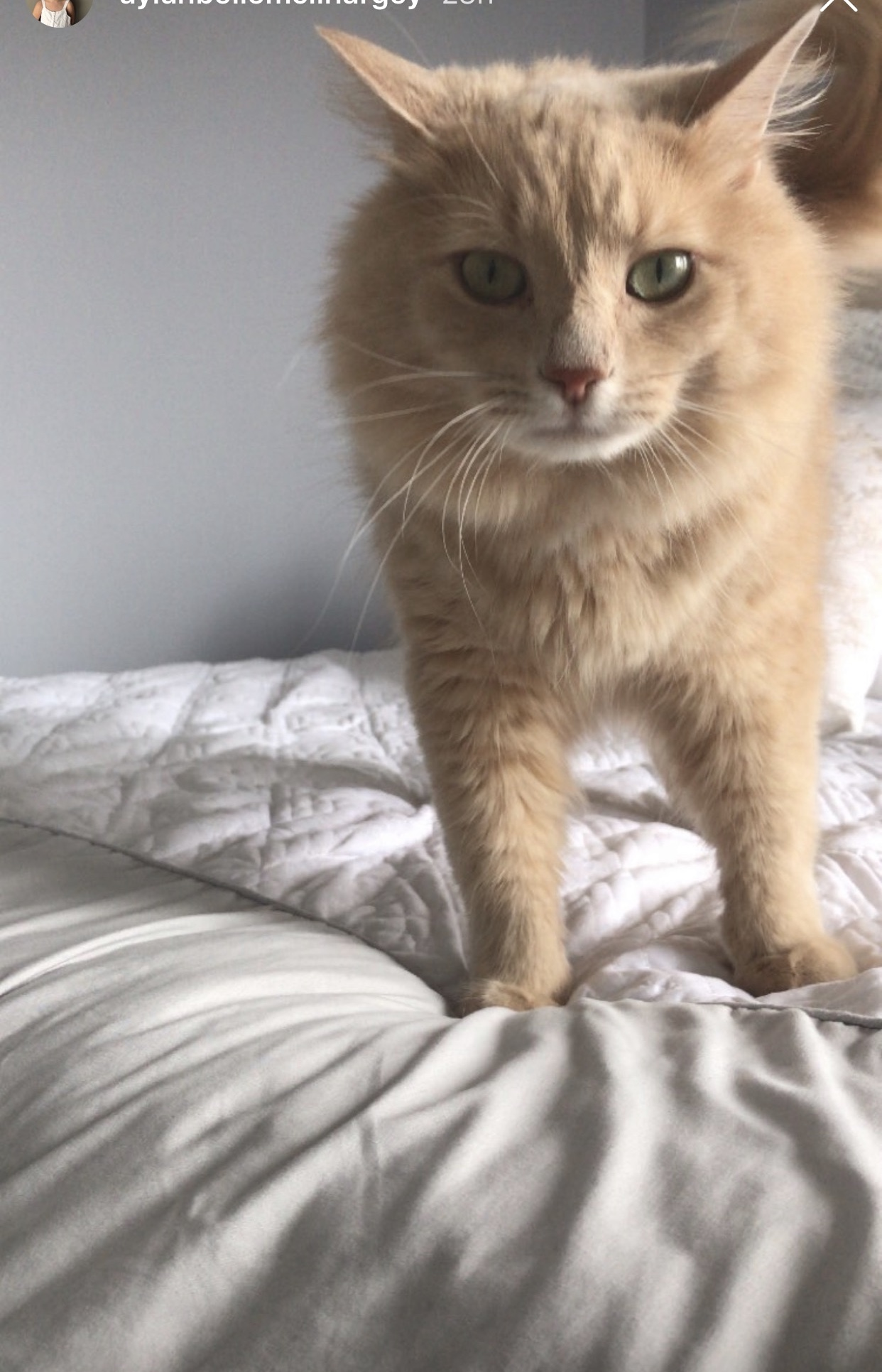 Potato – Lost Male Cat – Orange Longhair