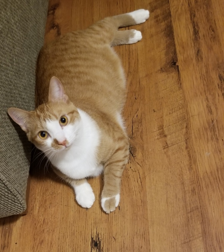 Pippy – Lost Male Cat – Orange and White Tabby Shorthair