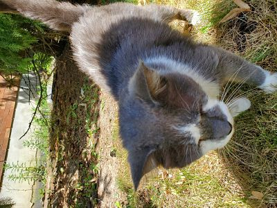 Found Male Cat – Grey and White Shorthair