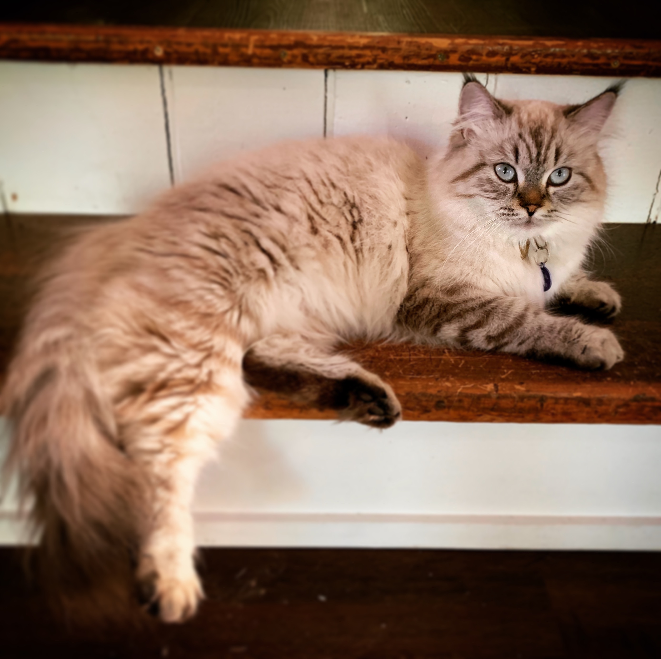 Gwazi – Lost Female Cat – White and Grey Lynx Point Siamese Himalayan