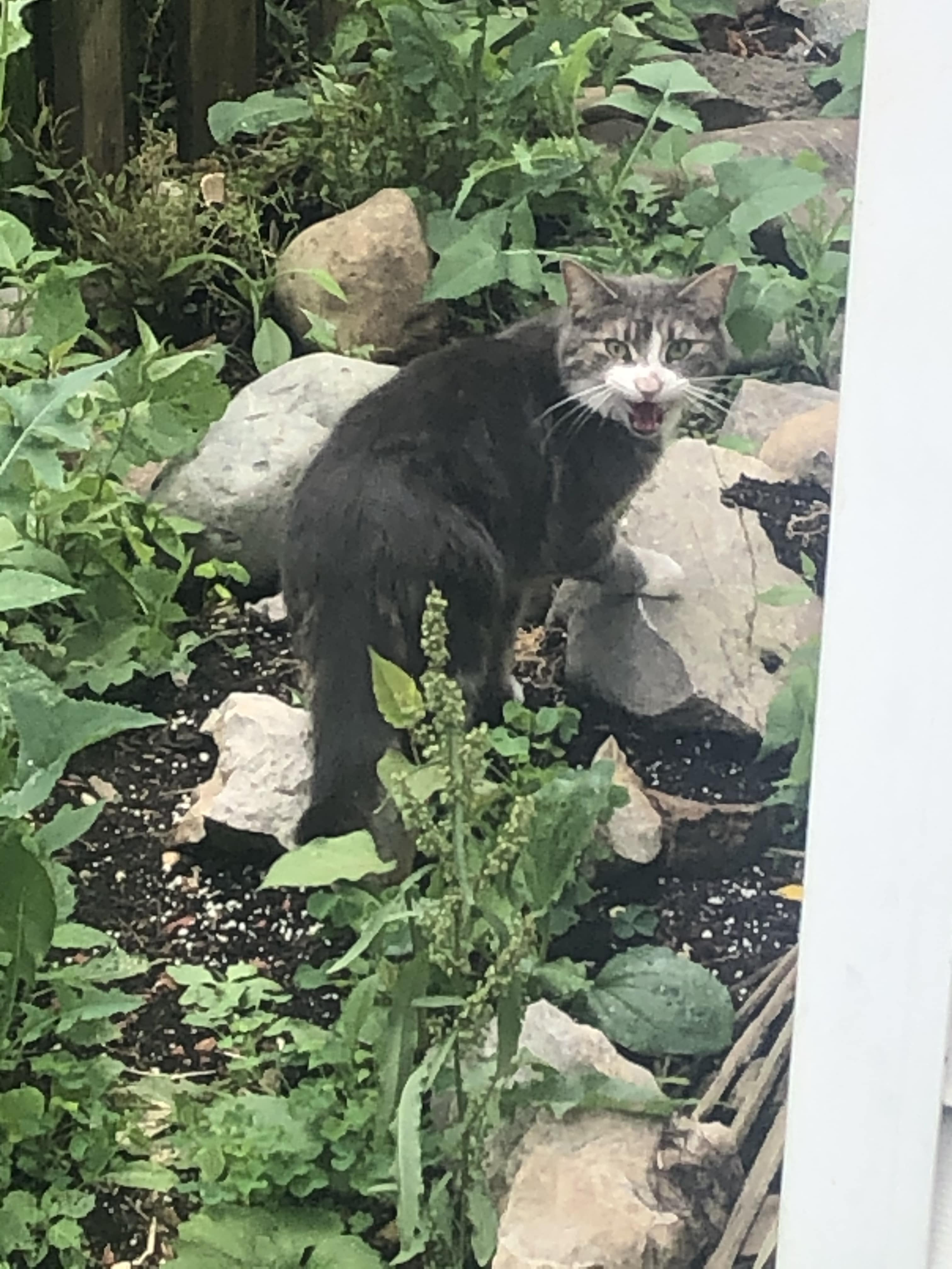 Found Male Cat – Grey Tabby with White Shorthair