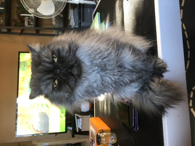Edgar (Egg) – Lost Male Cat – Grey Persian/Himalayan Mix (Longhair)
