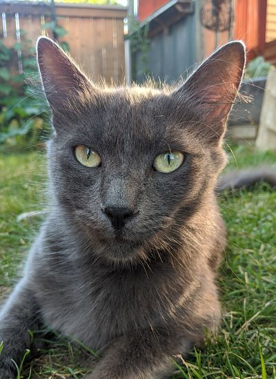 Einstein – Lost Male Cat – Grey Shorthair
