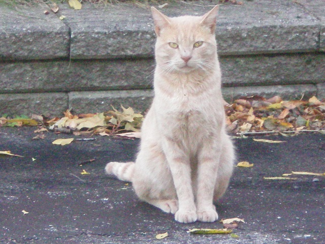 Found Male Cat – Light Orange Tabby Shorthair