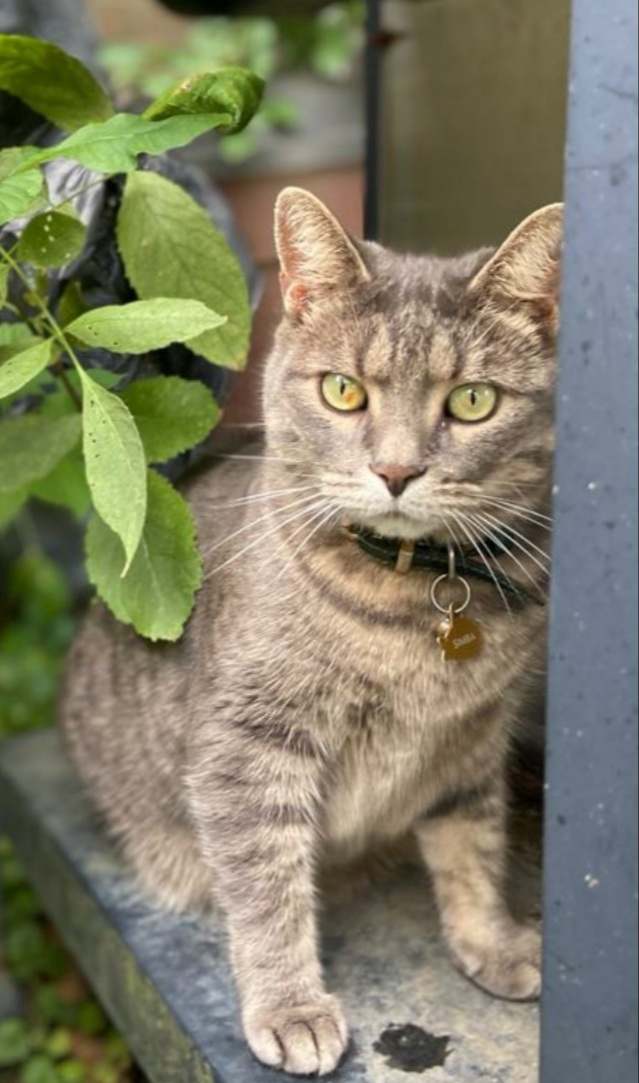 Simba – Lost Male Cat – Grey Tabby Shorthair