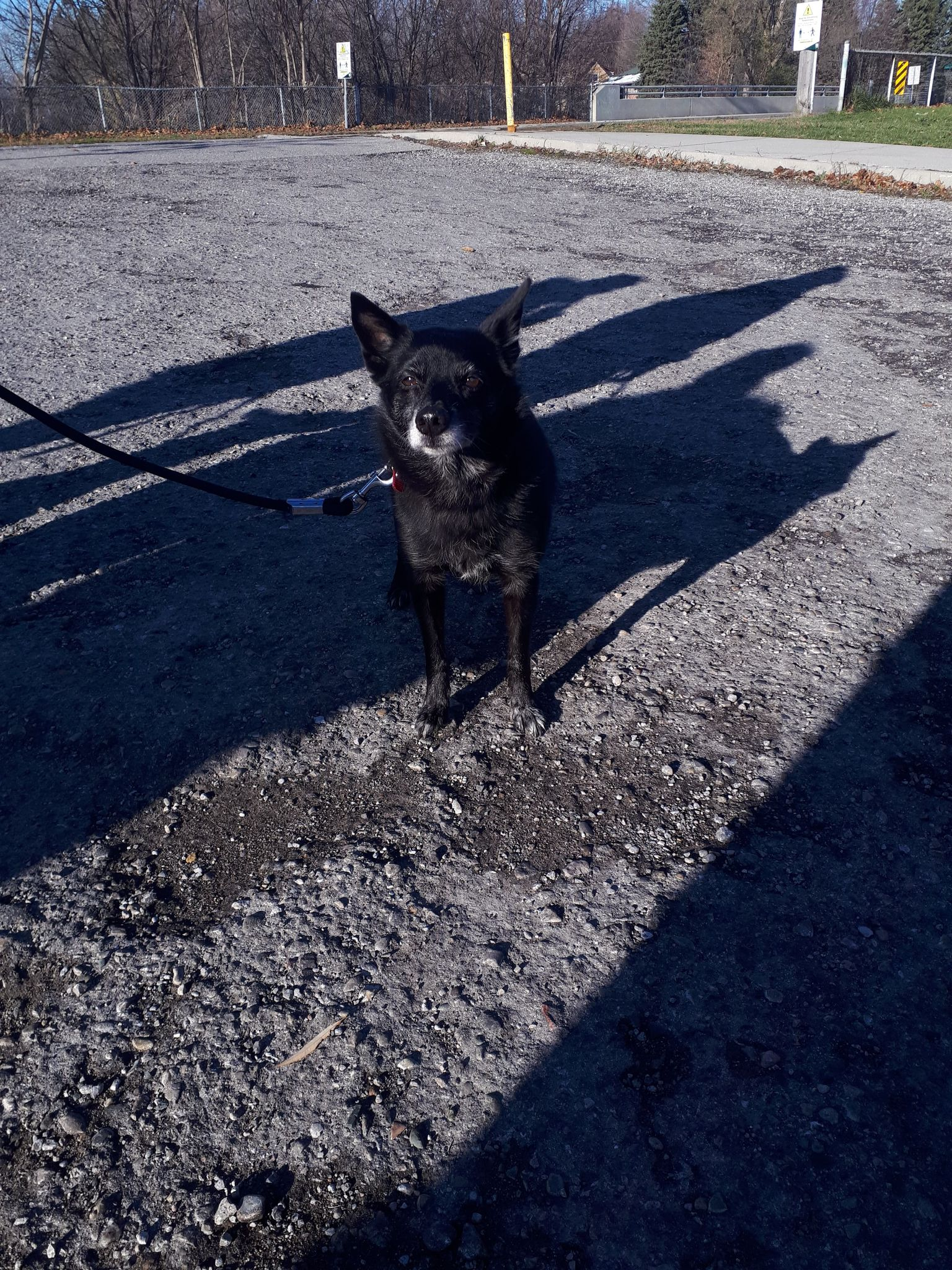 Found Female Dog – Black with Bit of White Mixed Breed