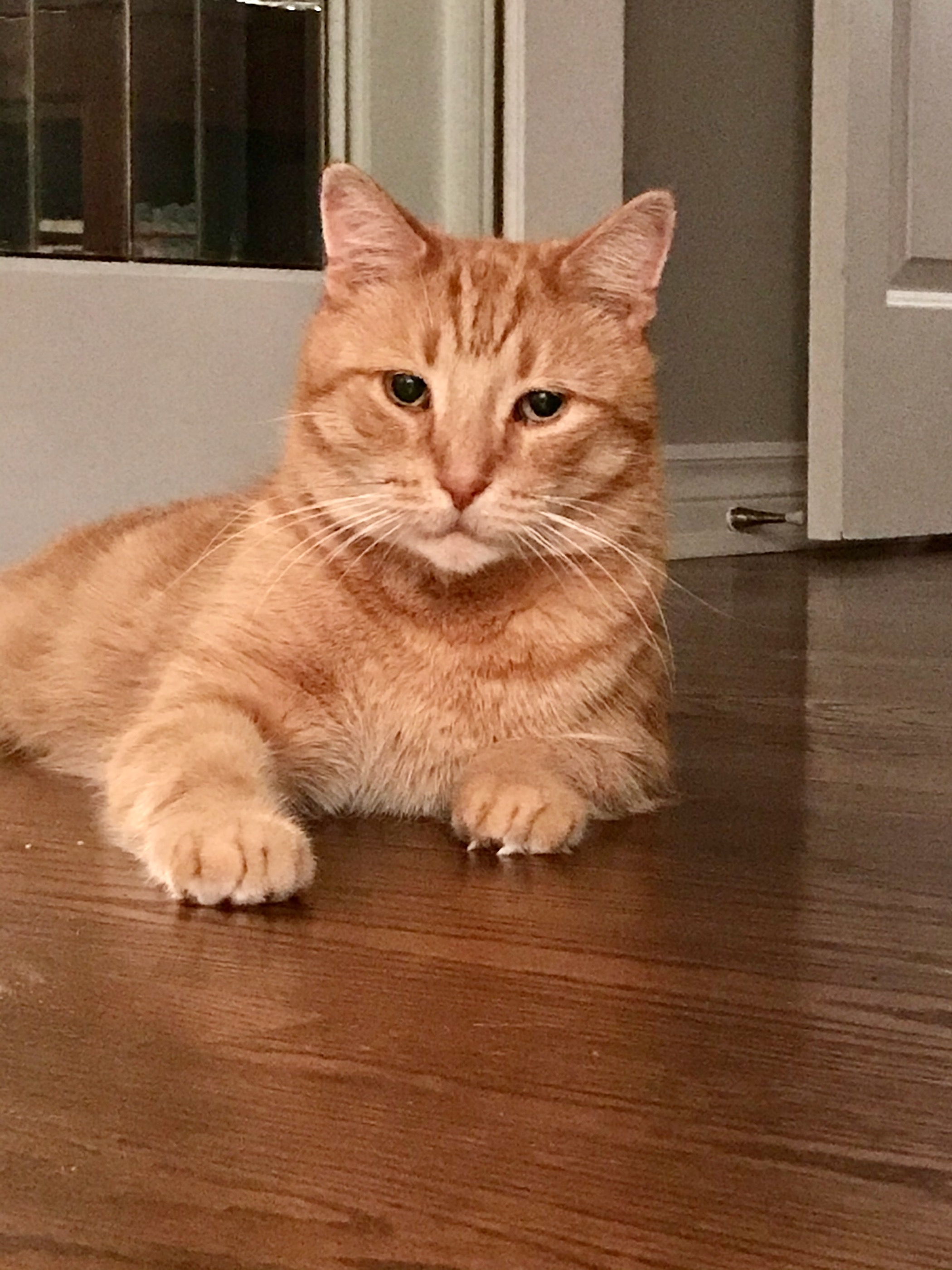 Orange tabby short hair