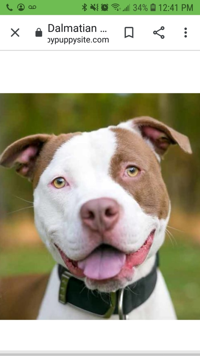 Found Female Dog – Brown and White Bully Breed