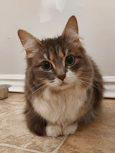 Found Female Cat – Brown Tabby with White Longhair