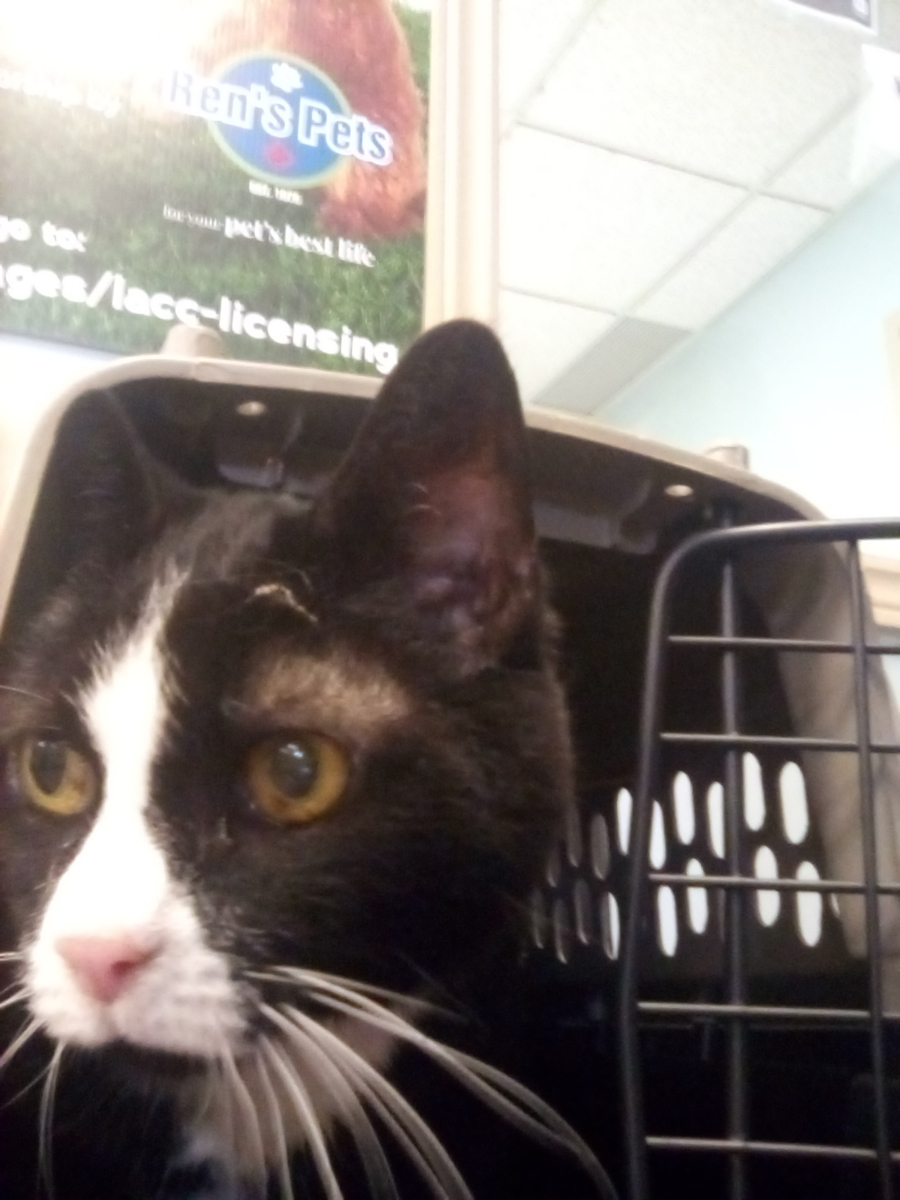 Found Female Cat – Black and White Shorthair